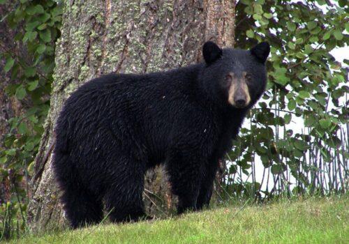 black-bear-50293